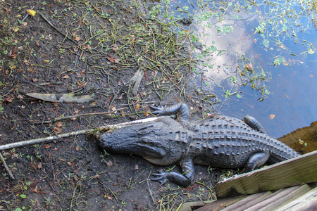 large alligator on the shore of the swamp in Green Cay wetlands in Florida