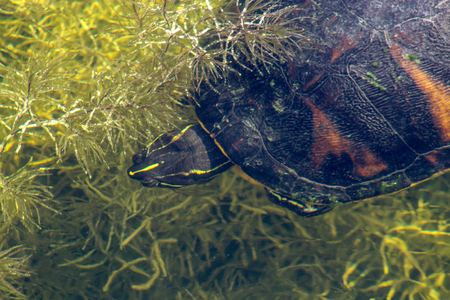The Florida red-bellied cooter or Florida redbelly turtle is a species of turtle in the family Emydidae.