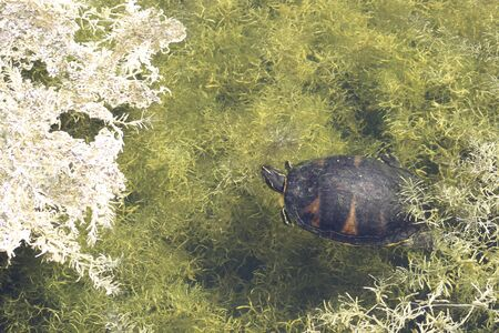 Suwannee cooter turtle peaking up from marsh