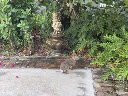 brown rabbit on driveway in Florida