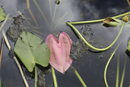 heart shaped leaf in the swamp Stock fotó