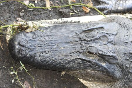 alligator in the swamp resting