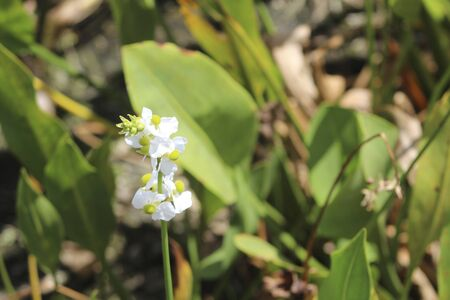 arrowhead flower with white petals in swamp