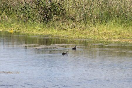 two ducks swimming in swamp