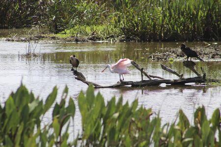 Roseate Spoonbill in Florida marsh