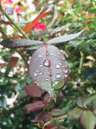 Rose leaves with water drops 免版税图像