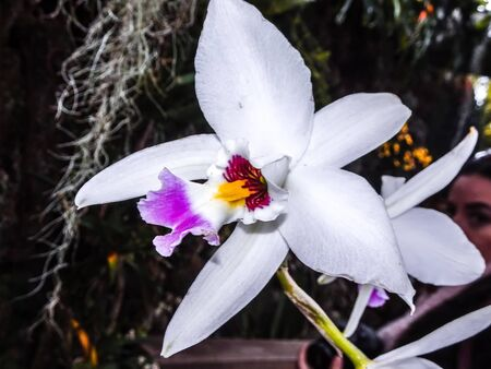 purple and white exotic orchid Cattleya flower