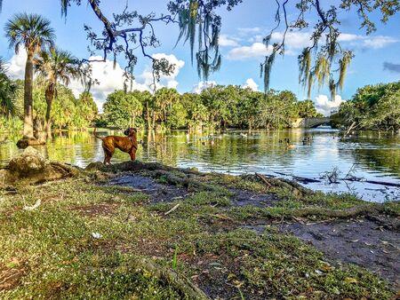 Boxerhund steht auf einem Hügel mit Blick auf den See im New Orleans City Park.