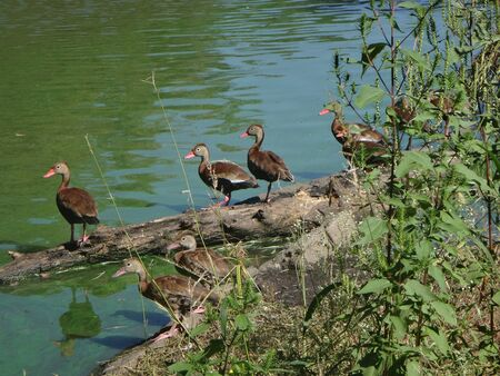 brown ducks in a row