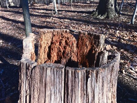 dead tree in the winter forrest Banque d'images