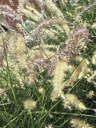 Panicum 'dallas blues' planted in residential garden, with it's bold wispy seedheads. Banque d'images