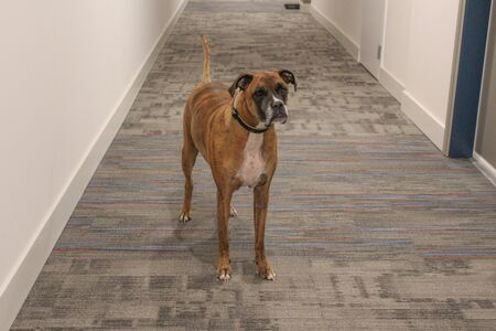 Boxer dog with brindle markings