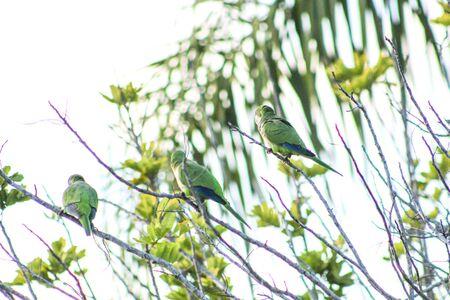 Myiopsitta monachus - green tropical bird