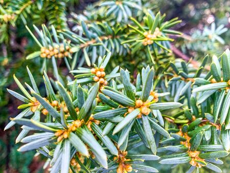 green spiky pine needles close up Banque d'images