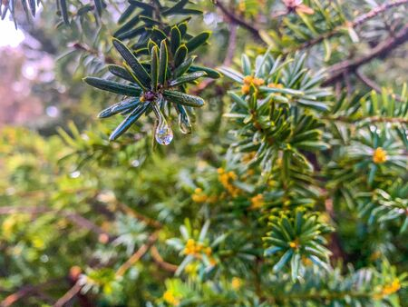 green spiky pine needles of the Abies lasiocarpa