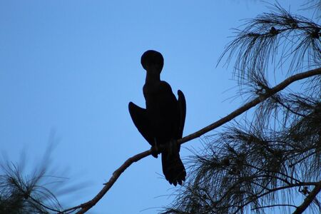 big cormorant bird perched in a pine tree in the swamp at dusk Banque d'images