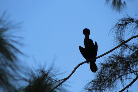big cormorant bird perched in a pine tree in the swamp at dusk Banque d'images - 137754387