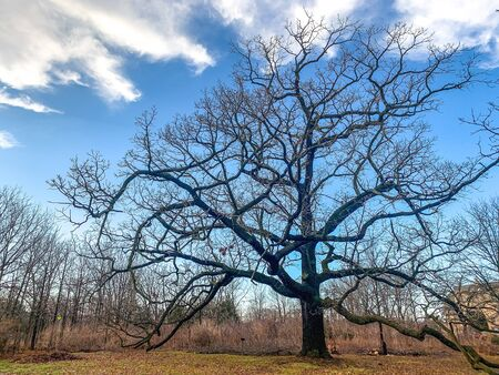 large oak tree with no leaves in winter Banque d'images - 137754403