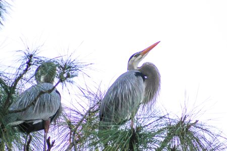 blue heron on a tree branch in the Florida swamps