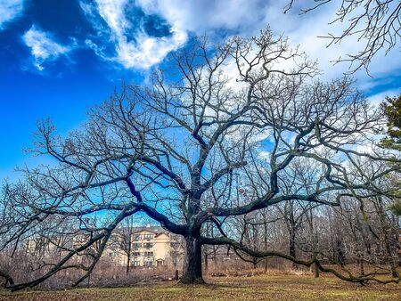 large oak tree with no leaves in winter