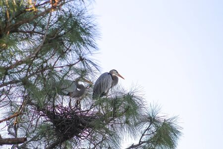 blue heron on a tree branch in the Florida swamps Banque d'images - 137754987