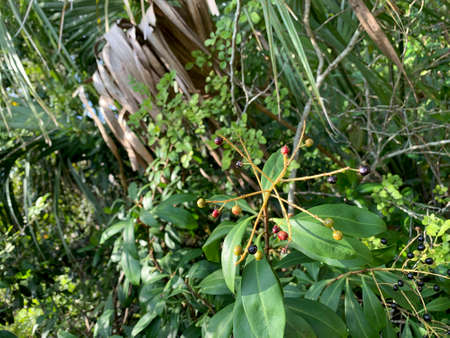 berries on a bush in South Florida