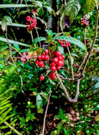 The native rouge plant (Phytolaccaceae) has red berries in the fern forest nature preserve. 版權商用圖片