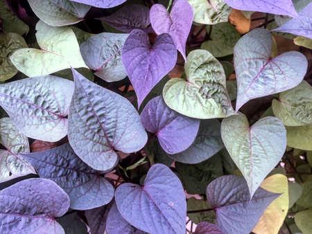 Ace of Spades (Ipomoea)(sweet potatoe vine)
