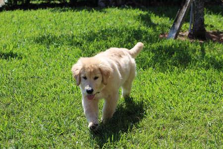 Golden Retriever puppy walking towards camera. 版權商用圖片