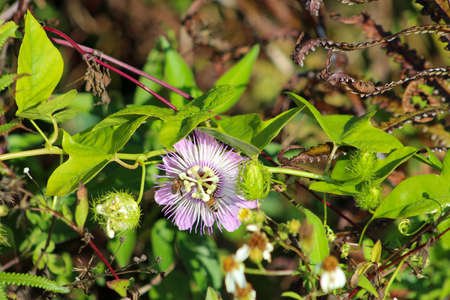 Passion Flower also known as passion vine and maypop growing in the swamp 版權商用圖片