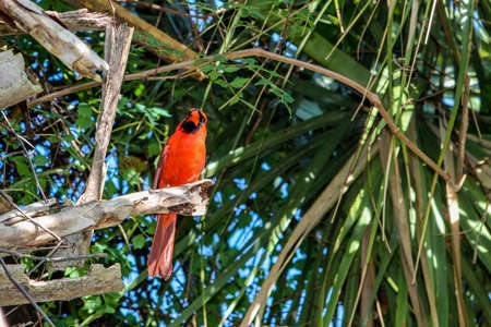 Vibrant mating male cardinal in the Florida Swamp. 版權商用圖片