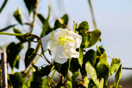 White morning glory with dew in Florida swamp.