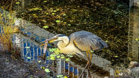 Gerat Blue Heron stabs a catfish to eat.
