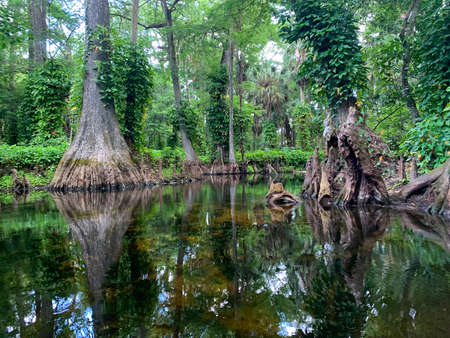 Loxahatchee River in Cypress Forest with hanging vines. Stock Photo