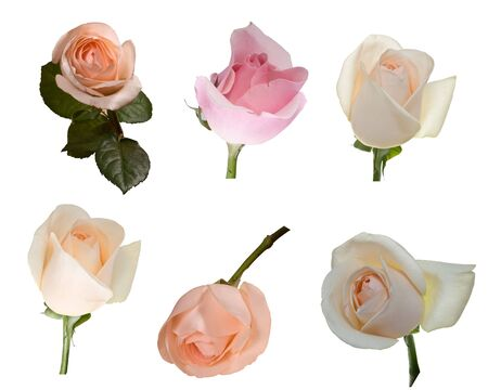 Fresh rose on a white background. Isolated.