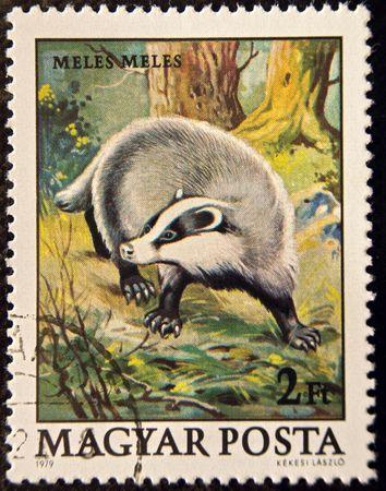 The European Badger, or Eurasian badger. Stock Photo