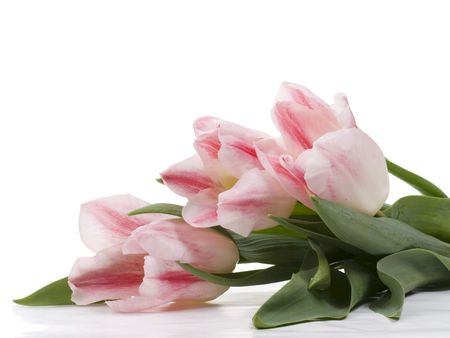 Pink tulips on a white background photo