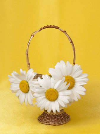 Camomiles in a small basket on a yellow background photo