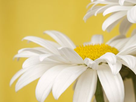 White camomile on a yellow background. Stock Photo