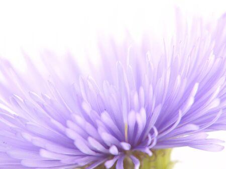 Lila Blume. Makro. Selektiven Fokus.