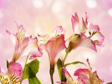 Flower pink  Alstroemeria  on a abstract background   Stock Photo