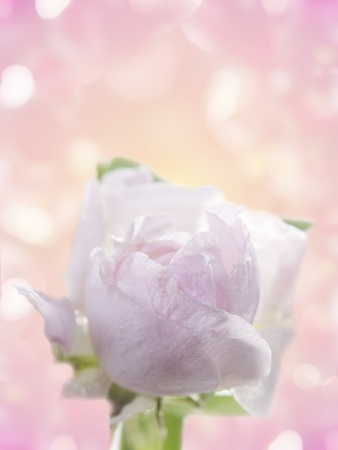 Fresh rose on a  abstract  background Stock Photo - 13323651