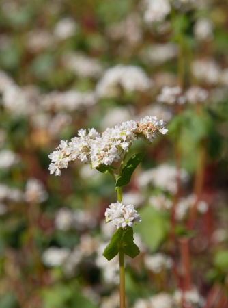 Buckwheat flowers on the field on a sunny day Stock Photo - 14263122