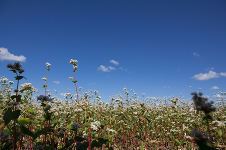 Buckwheat flowers on the field on a sunny day photo