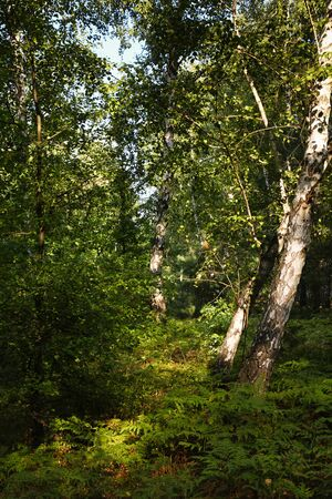 forestation: Birch forest on a sunny summer day Stock Photo