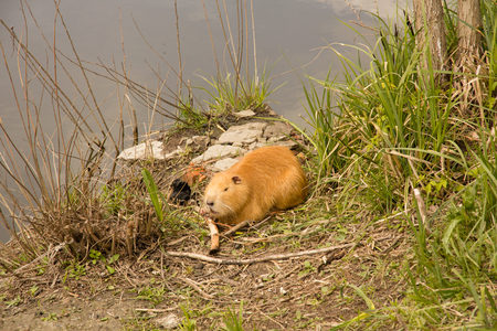 Large adult red-haired nutria is eating near the river Stock Photo
