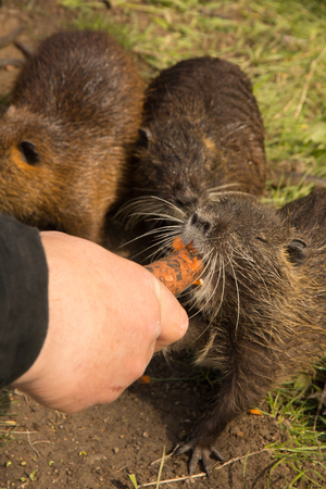 man is feeding gray coypus of fresh carrots