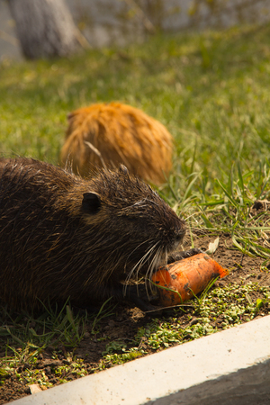 arge adult water rat eating carrots on the grass