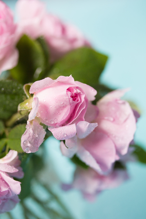 Fresh pink rose on a blue background