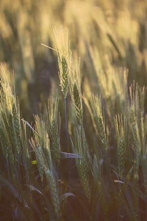 Spikes are not ripe wheat on farmer field 写真素材